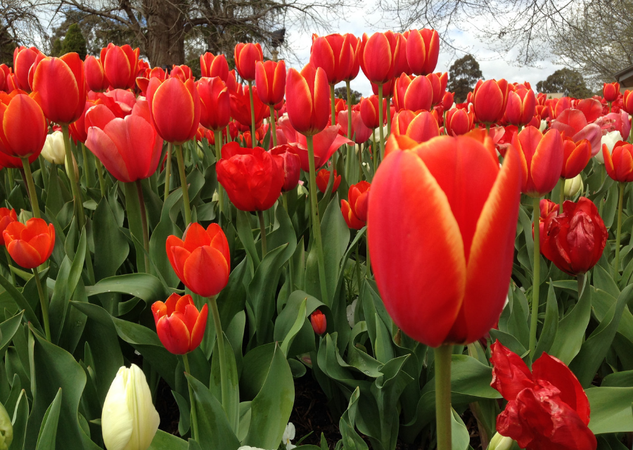 September Must Do's Tulip Time