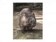 I Found an Injured Wombat - What Do I Do?